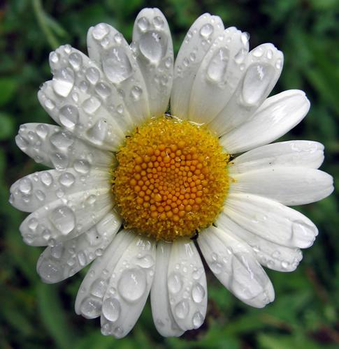 Roman chamomile - pic via 3morganic.com