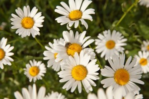 Chamomile - sweet flower, sweet scent