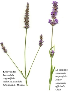 Lavandin and true lavender- ic via www.marvellous-provence.com