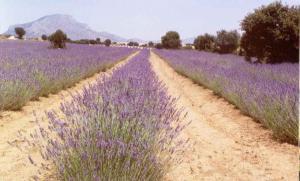 Spike lavender - pic via www.cadima.com