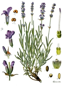Lavandula angustifolia from Köhler's Medizinal Pflanzen