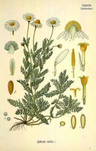 Anthemis nobilis - a classic illustation from Kohler's Medicial Pflanzen