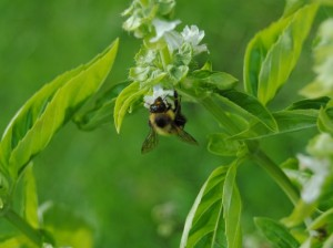 Basil is alluring - even to bees!
