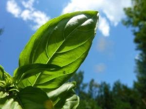 Beautiful green basil!