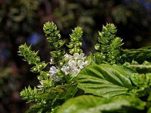 Flowering basil - beautiful!