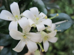 Lemon blossoms - I wonder why they aren't made into an essential oil like Neroli?