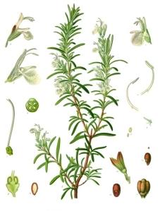 Rosemary botanical drawing - from Köhler's Medizinal Pflanzen