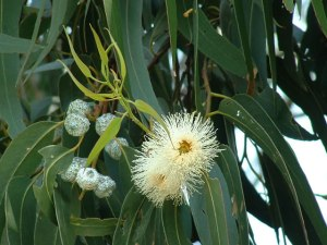 Eucalyptus globulus is the most commonly produced essential oil although there are quite a few - pic via www.wildseedtasmania.com.au