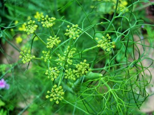 The fennel plant