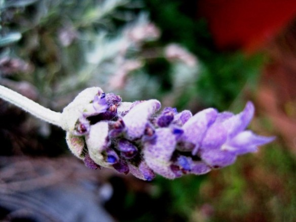Lavender is the most versatile essential oil we have and it can be used all through the year