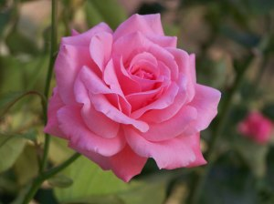 The divine scent of the rose is not the only thing it has going for it