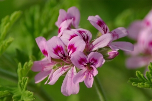 Rose geranium - pic via commons.wikimedia.org