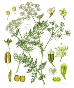 Caraway botanical drawing from Kohler's Medizinal Pflanzen