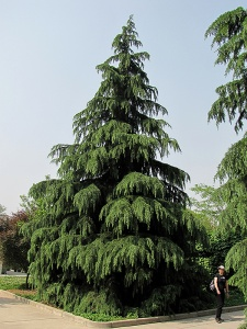 The shaggy Christmas tree type of Cedrus deodora - pic via plants.plantcrazy.ca