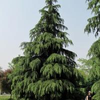 Himalayan Cedarwood - Cedrus deodora