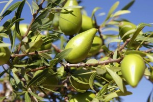 The argan fruit - pic via theparakeetslounge.com