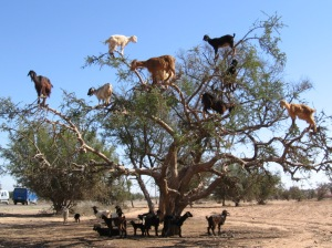 These tree dwelling goats love the argan tree
