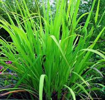 Palmarosa is a grass similar to lemongrass