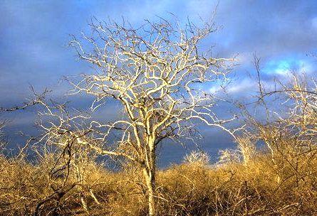 The spindly tree Palo Santo pic via blessyourbody.com