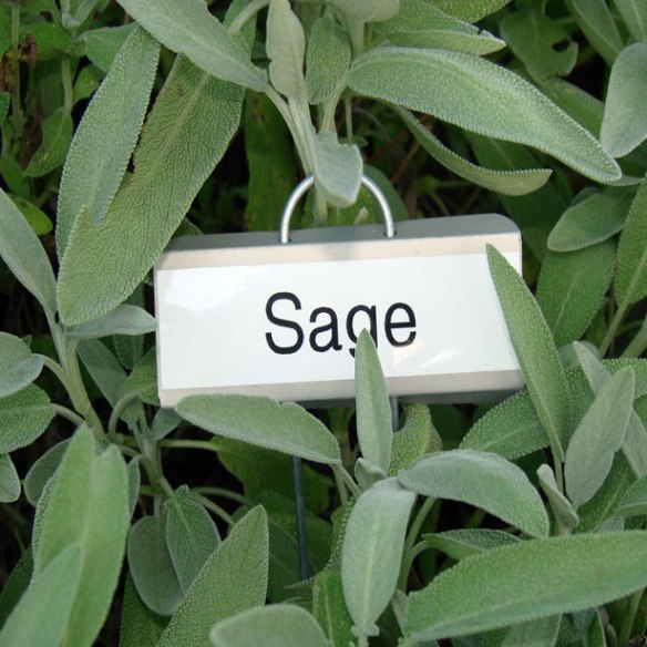 Sage has a beautiful soft leaf with a pungent scent