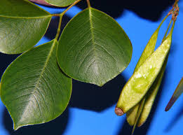 The leaf and pod of Sissoo