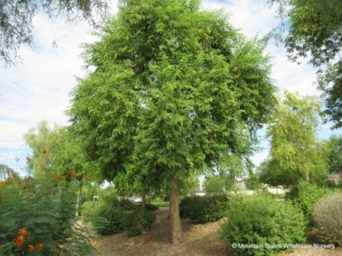 The gorgeous tree Dalbergia sissoo - pic via www.mswn.com