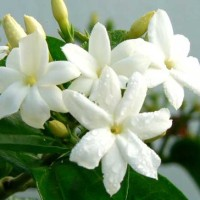 10 Recipes with Jasmine 3 % Essential Oil - Jasminum grandiflorum