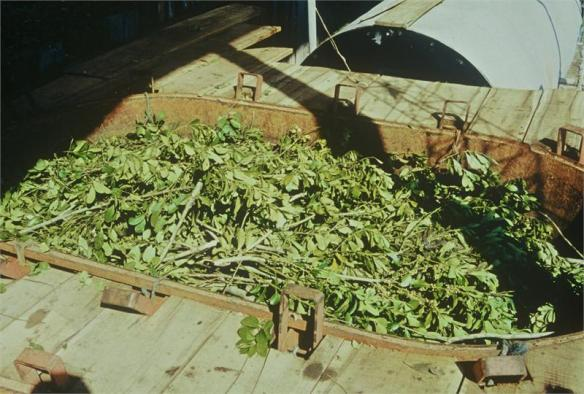 The leaves and twigs ready to be distilled into petitgrain oil