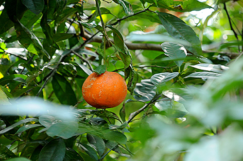 "The ""little grain"" bitter citrus fruit - pic via tambela.com"