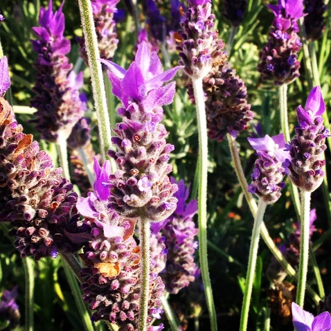 more gorgeous lavender