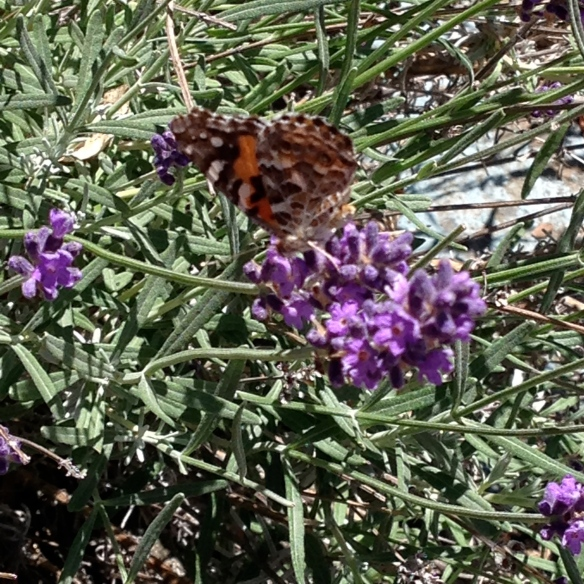 wild lavender with buterfly