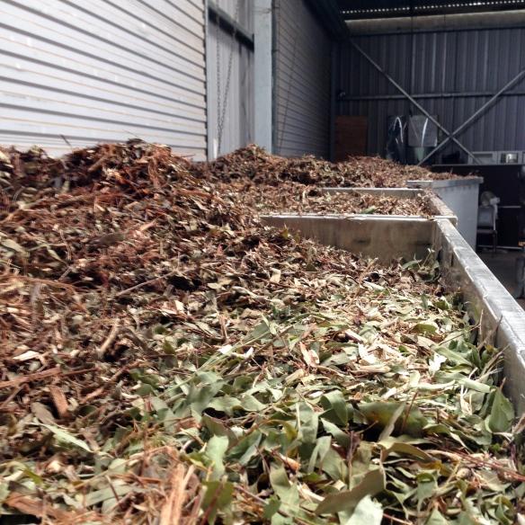 Fresh eucalyptus leaves awaiting distillation