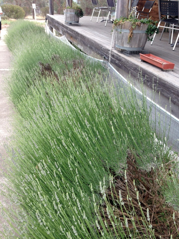 Lavender just about to flower outside the shop