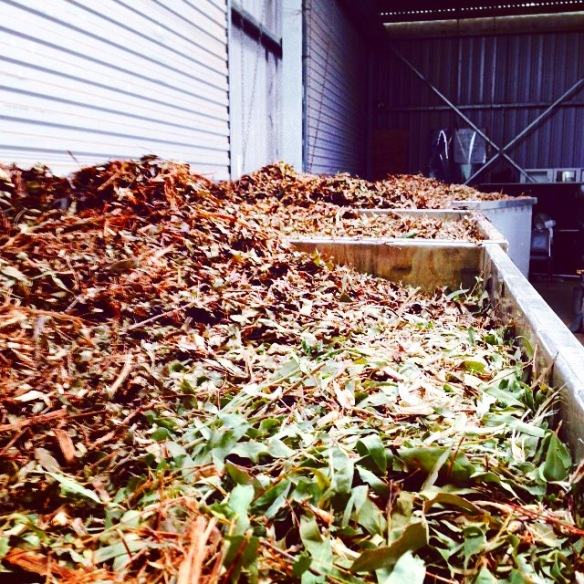 Eucalyptus radiata leaves ready to be distilled at Banalasta Estate in NSW
