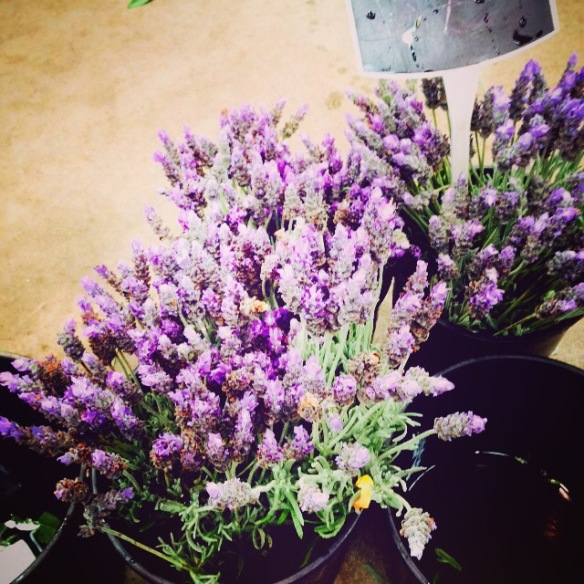 Lavender at my local market
