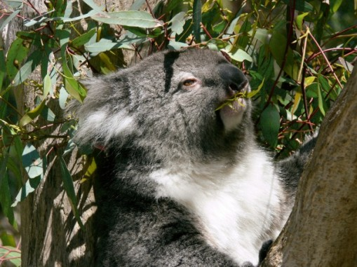 Koalas MUST have eucalyptus and so must I!