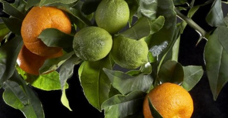 The green fruit pictured here is very small like a cumquat - pic via nwitimes.com