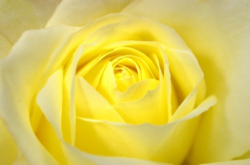 Yellow roses for happiness and friendship