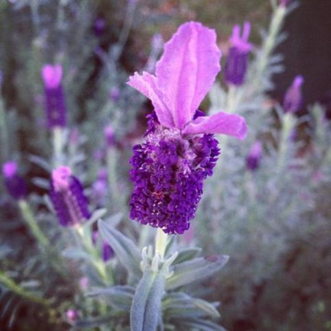 Lavandula stoechas, my own pic thanks yes it is wonderful