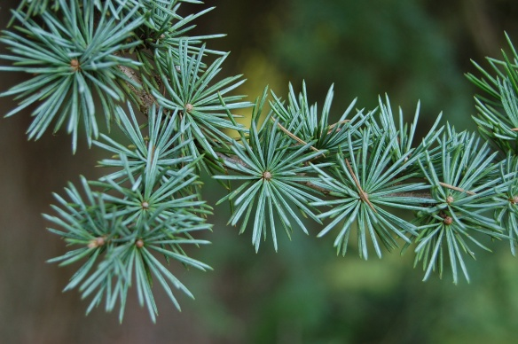 Cedrus atlantica needles