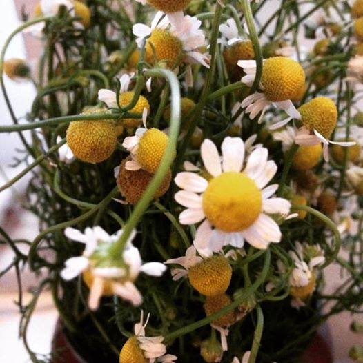 I've got these gorgeous chamomile flowers in a teapot nest to my bed - sweet dreams!