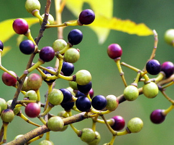 May change essential oil is distilled from the fruit