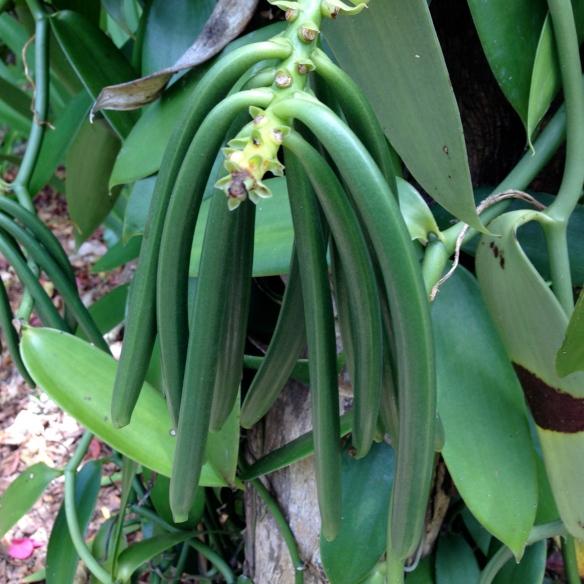 The young vanilla bean