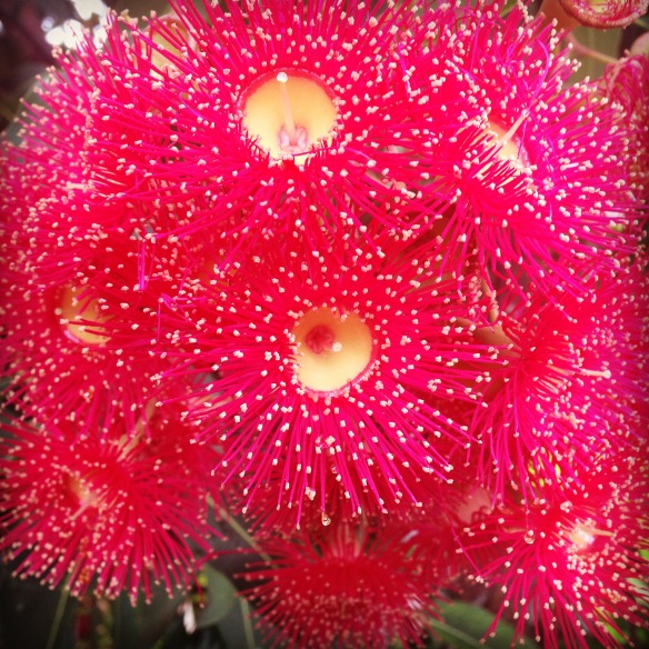 Eucalyptus or gum nut flowers