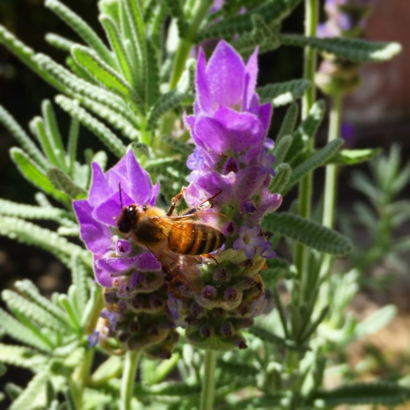 lavender loving bee at my friend's house