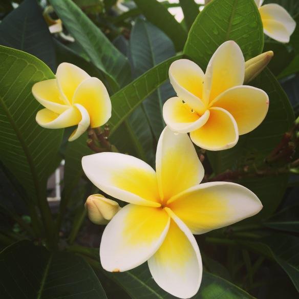 frangipani in the neighbourhood