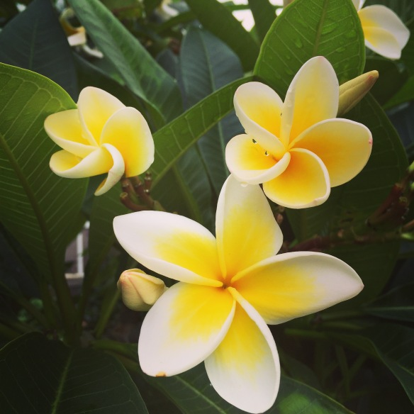 frangipani in the neighbourhood