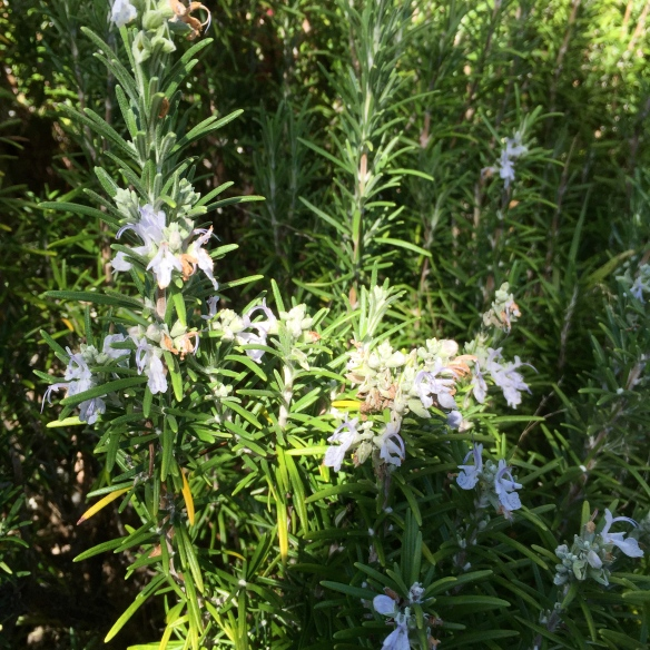Flowering rosemary in dappled sunlight at Hyams beach