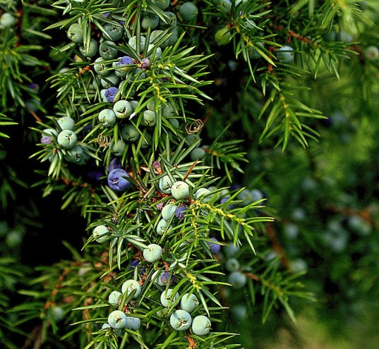 sparkly, fresh juniper