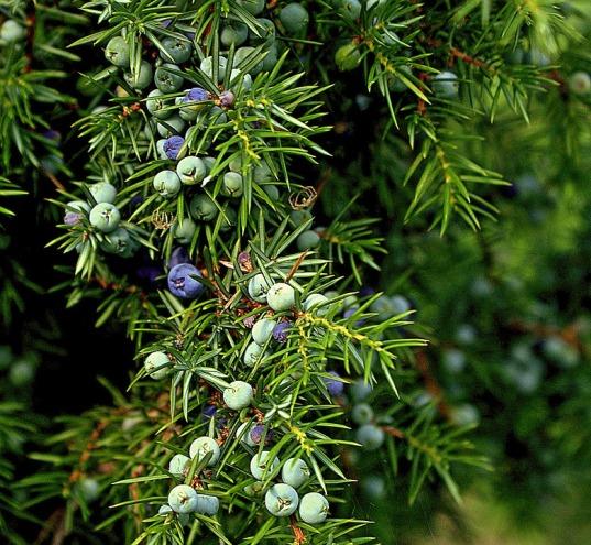 sparkly, fresh juniper